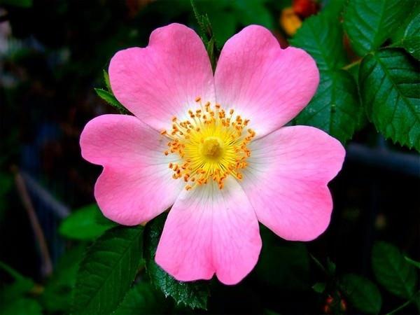 صور صور اجمل الورود , صور لبعض الورود الجميله