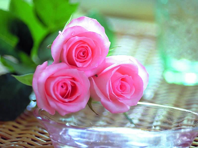 صور صور ورود جميلة , اجمل صور الورد الطبيعي