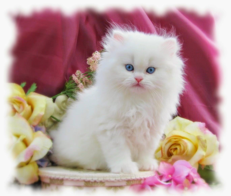 صور قطط شيرازى , كل ما تريد معرفته عن القطط الشيرازي
