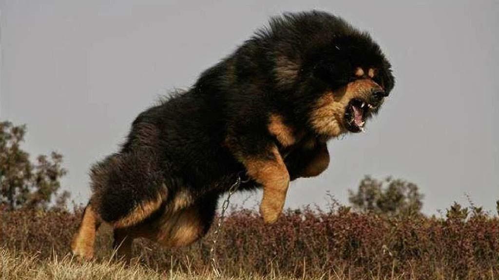 صور اخطر انواع الكلاب , اشرس انواع الكلاب في العالم