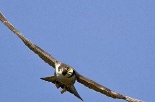 صور اكبر طائر في العالم , الطائر الاكبر في العالم