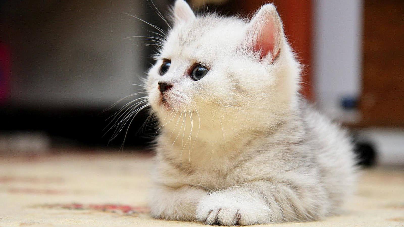 صورة صور قطط كيوت , اجمل صور القطط