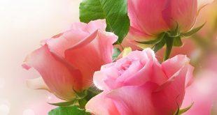صوره صور خلفيات ورد , اروع صور خلفيات الورد