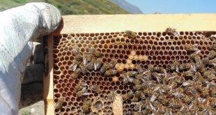 بالصور تربية النحل , نصائح لتربيه النحل 1430 3 310x165