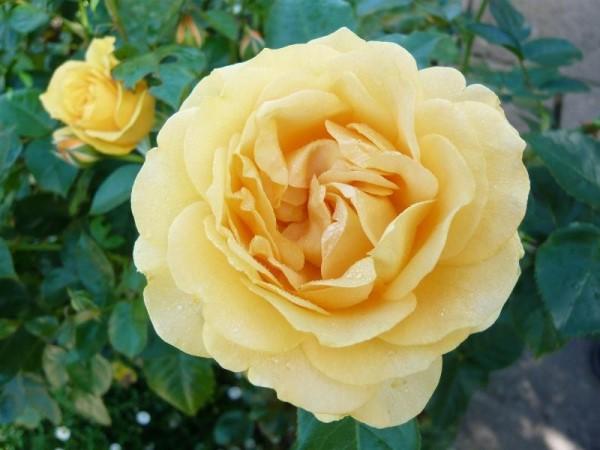صورة صور عن الورد , الورد جميل و له كثير من العشاق