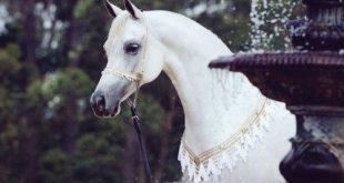 بالصور خيول عربية , الخيل العربى الاصيل و جماله 3832 14 310x165