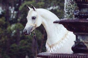 صورة خيول عربية , الخيل العربى الاصيل و جماله