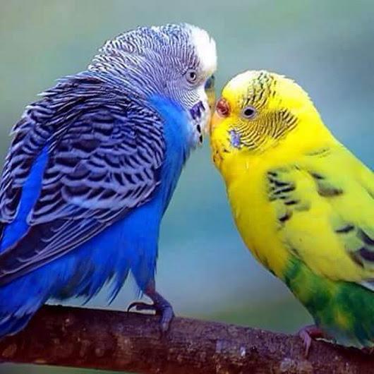بالصور صور بلابل , صور طيور جميله 3922 10