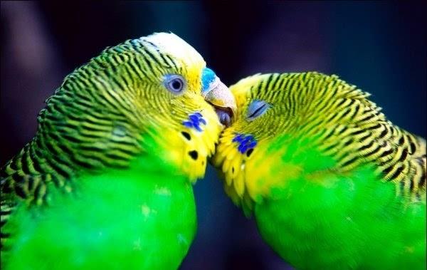 بالصور صور بلابل , صور طيور جميله 3922 11