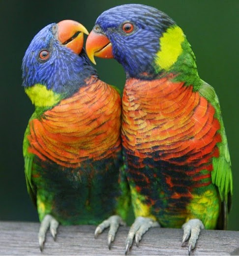بالصور صور بلابل , صور طيور جميله 3922 12