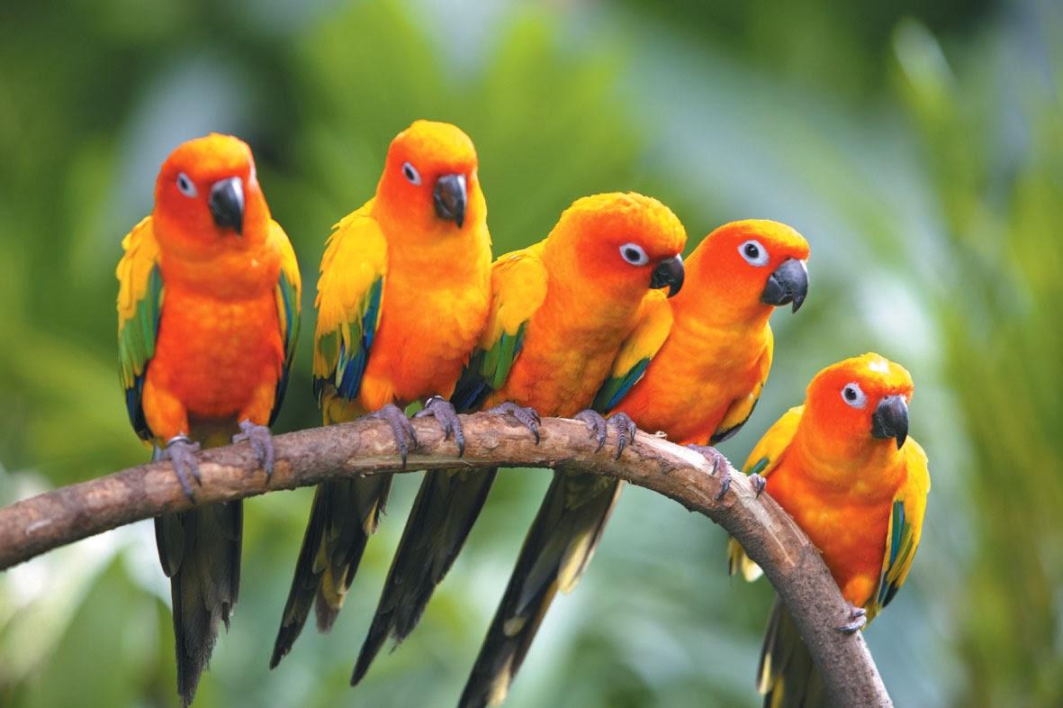 بالصور صور بلابل , صور طيور جميله 3922 13