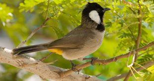 صورة صور بلابل , صور طيور جميله