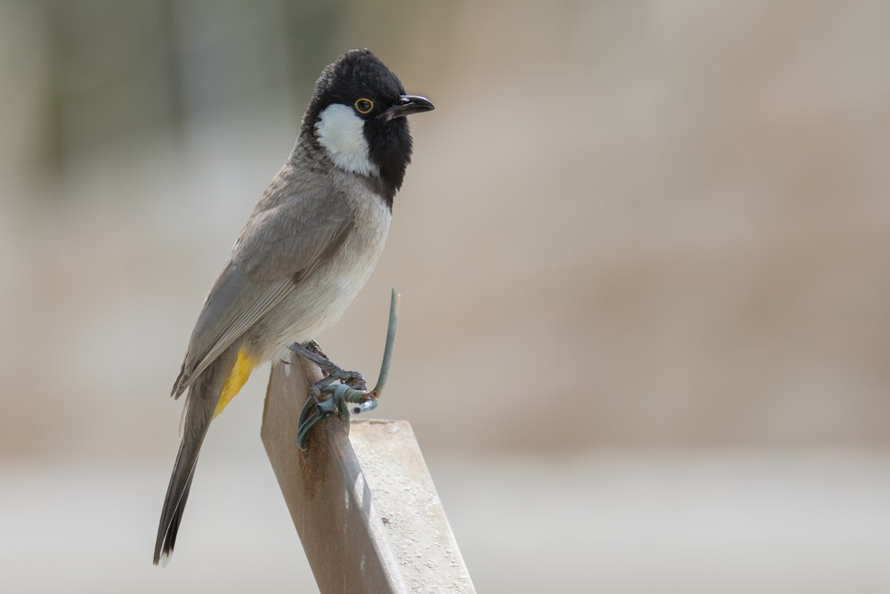 بالصور صور بلابل , صور طيور جميله 3922 2
