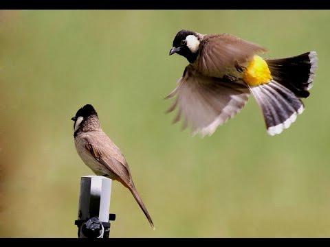 بالصور صور بلابل , صور طيور جميله 3922 4