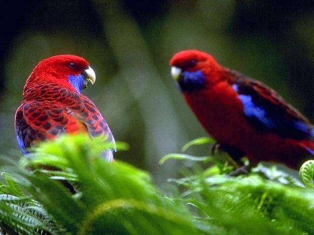 بالصور صور بلابل , صور طيور جميله 3922 5