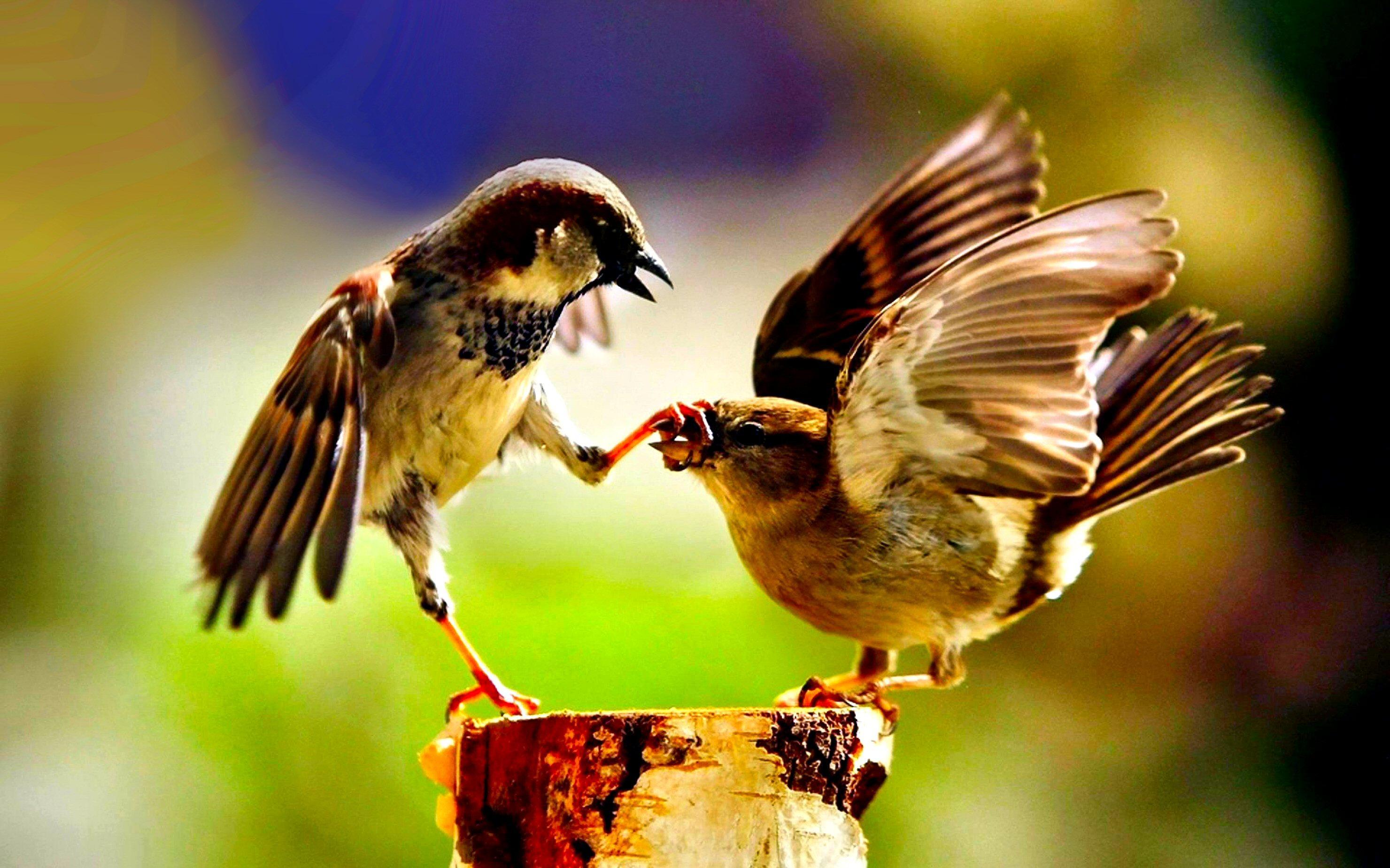 بالصور صور بلابل , صور طيور جميله 3922 6