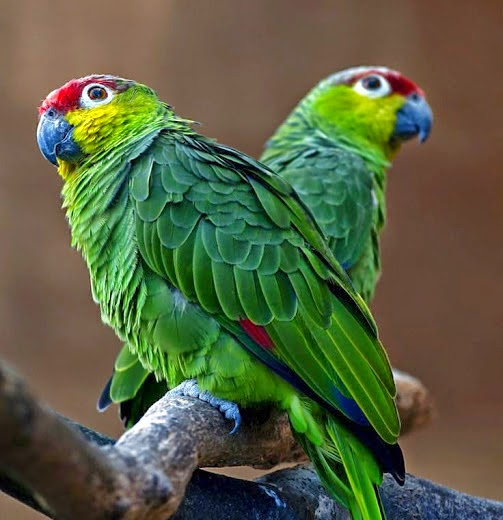 بالصور صور بلابل , صور طيور جميله 3922 7