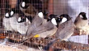 بالصور صور بلابل , صور طيور جميله 3922 9