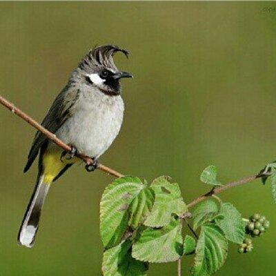 بالصور صور بلابل , صور طيور جميله