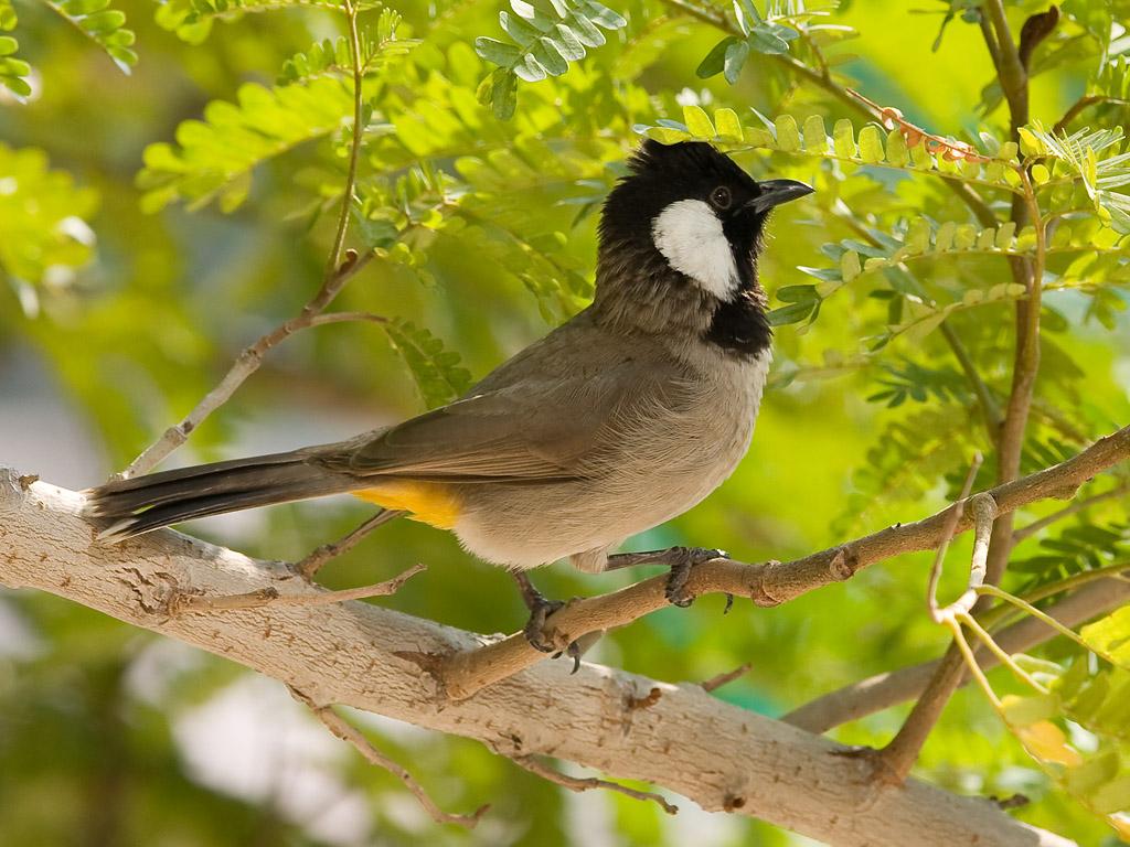 بالصور صور بلابل , صور طيور جميله 3922