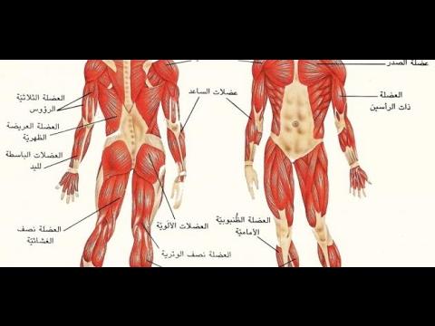 كم عدد عضلات جسم الانسان كم يبلغ عدد العضلات فى جسم البشر كيف