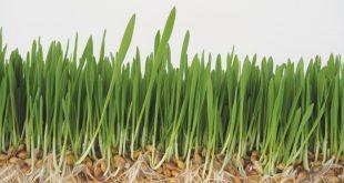 صور عشبة القمح , ما هى عشبه القمح وفائدتها للانسان