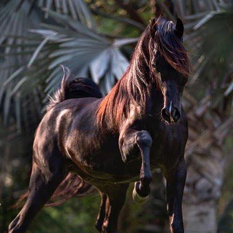نفوق حصان عربي أصيل ثمنه 5