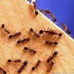 معلومات عن النمل , معلومات مفيده جدا خاصه بالنمل