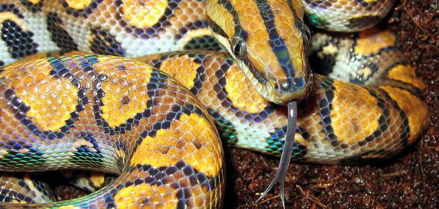 بالصور انواع الثعابين , صور مختلفه للثعابين 6280 2