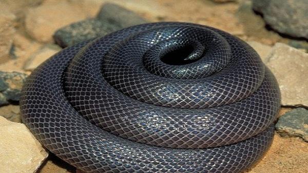 بالصور انواع الثعابين , صور مختلفه للثعابين 6280 4