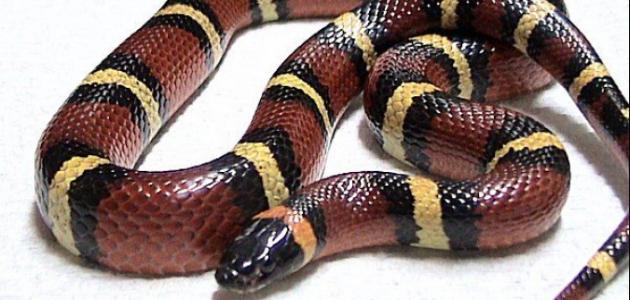 بالصور انواع الثعابين , صور مختلفه للثعابين 6280 5