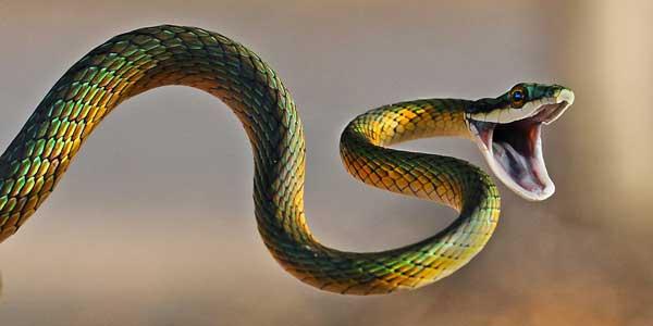 بالصور انواع الثعابين , صور مختلفه للثعابين 6280 7