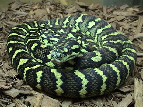 بالصور انواع الثعابين , صور مختلفه للثعابين 6280 8