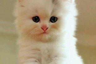 صوره قطط جميلة , صور قطط بريئة اوى وتجنن