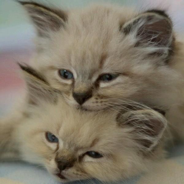 بالصور قطط جميلة , صور قطط بريئة اوى وتجنن 1043 16