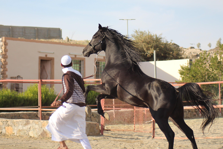 صوره الخيل العربي الاصيل , صور الخيول العربيه