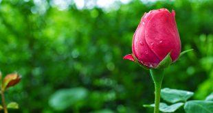 صوره خلفيات ورود جميلة جدا , اجمل الورود الطبيعية كخلفية لجهازك