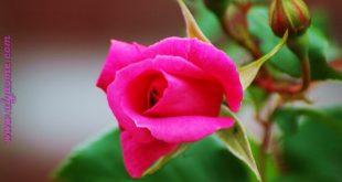 بالصور صور ورد طبيعي , اجمل صور لاجمل ورد طبيعي 336 13 310x165