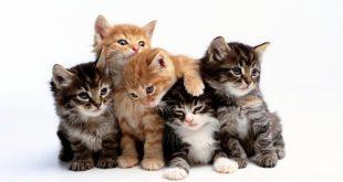 صوره اجمل الصور للقطط في العالم , تعرف علي اجمل 10 نوع من القطط بالعالم