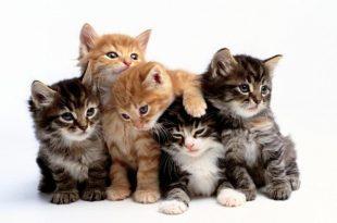 صورة اجمل الصور للقطط في العالم , تعرف علي اجمل 10 نوع من القطط بالعالم