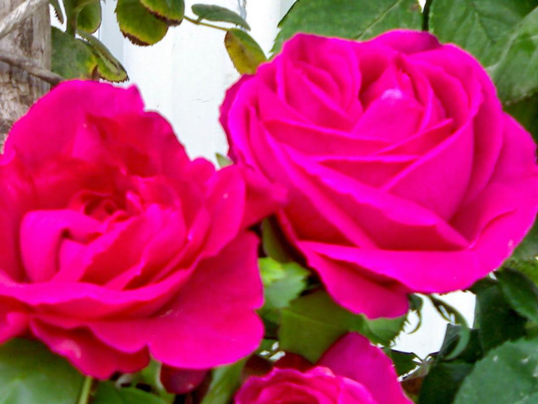 بالصور ازهار جميلة , ارق ورود رومانسية 982 1