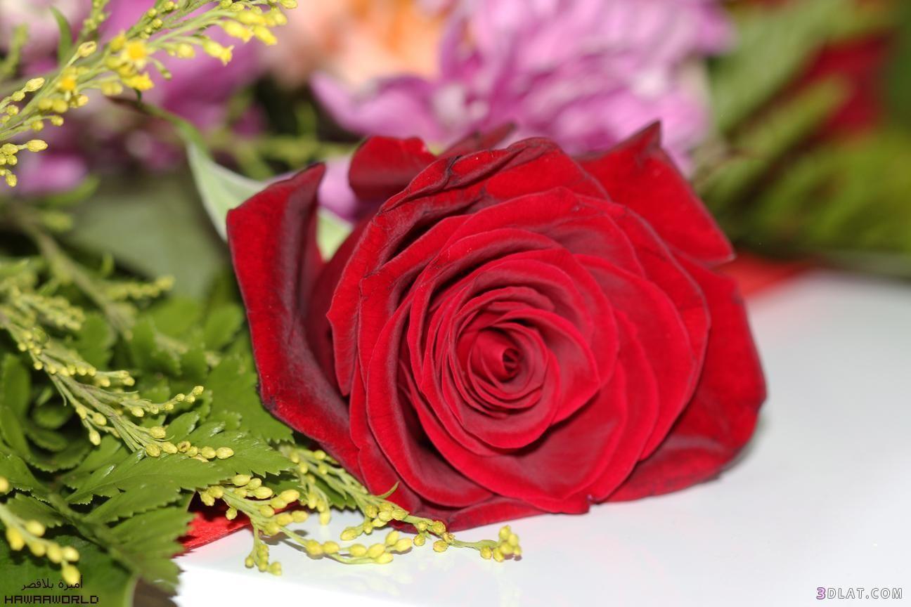 بالصور ازهار جميلة , ارق ورود رومانسية 982 11