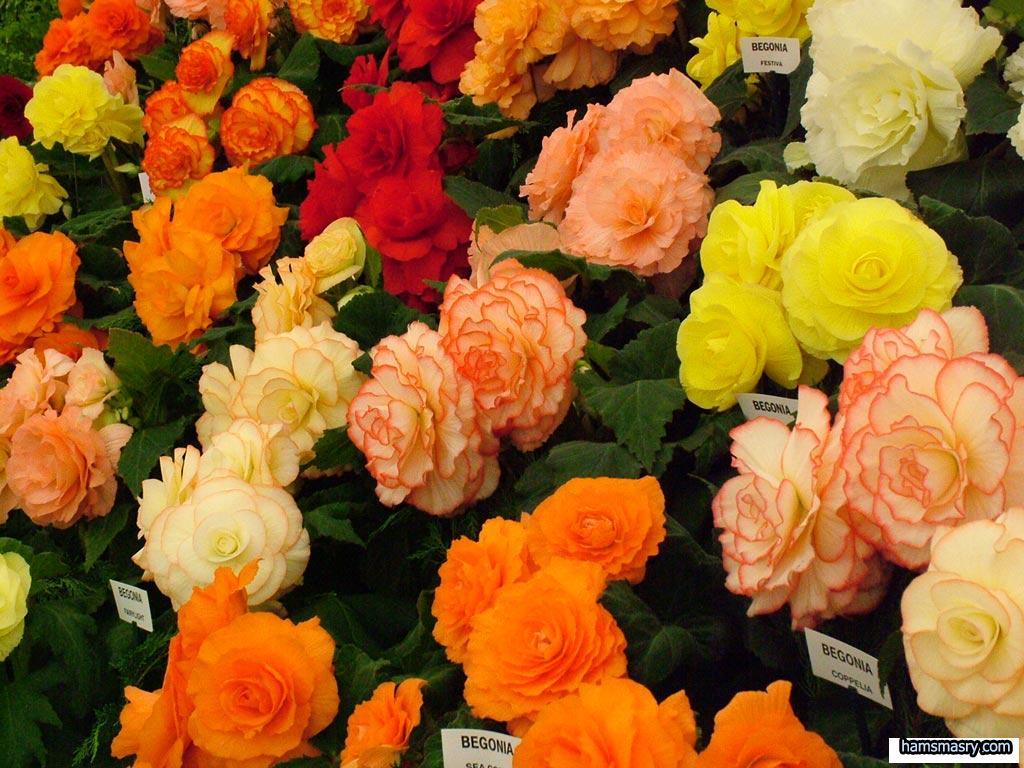 بالصور ازهار جميلة , ارق ورود رومانسية 982 8