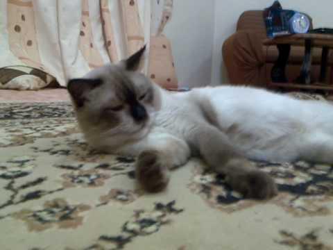 بالصور صور القطط الشيرازي , اجمل صور القطط الرقيقة الجميلة 15833 10