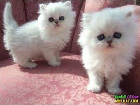 بالصور صور القطط الشيرازي , اجمل صور القطط الرقيقة الجميلة 15833 11