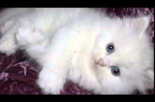 صورة صور القطط الشيرازي , اجمل صور القطط الرقيقة الجميلة