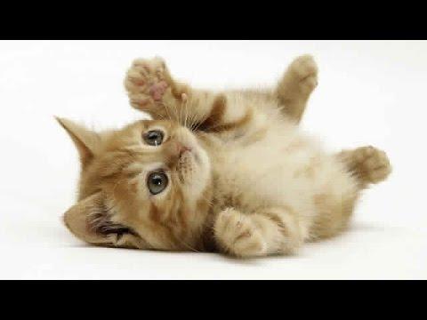 بالصور صور القطط الشيرازي , اجمل صور القطط الرقيقة الجميلة 15833 2