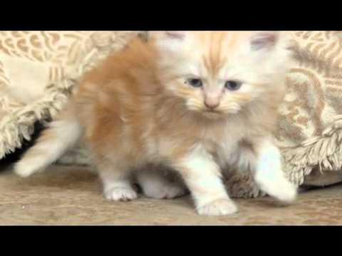 بالصور صور القطط الشيرازي , اجمل صور القطط الرقيقة الجميلة 15833 3