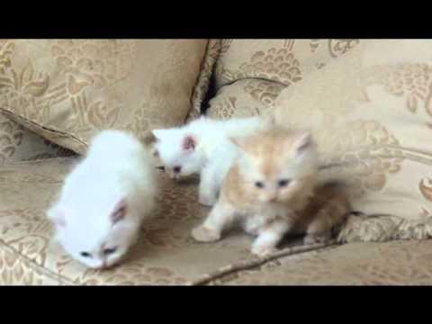 بالصور صور القطط الشيرازي , اجمل صور القطط الرقيقة الجميلة 15833 4