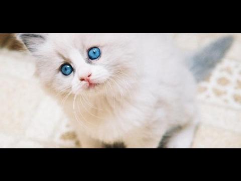 بالصور صور القطط الشيرازي , اجمل صور القطط الرقيقة الجميلة 15833 6